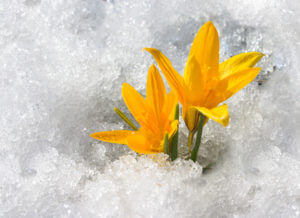 A yellow crocus pushes through snow signifying rebirth.